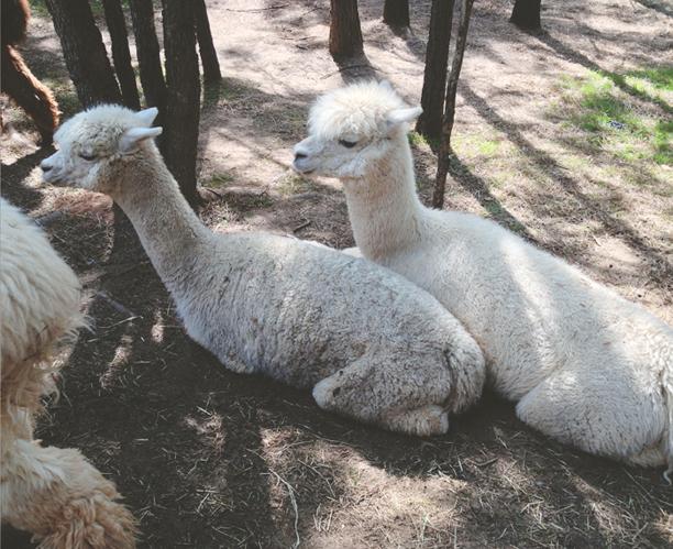 Twilight Criterium & Alpacas